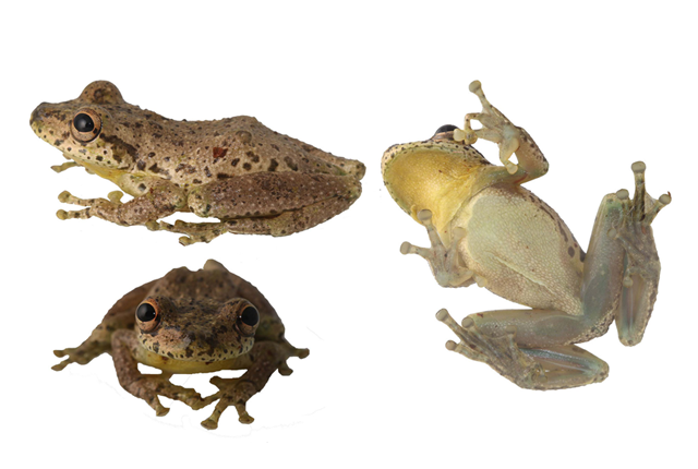Nueva especie de rana endémica en Colombia