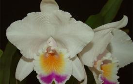 La orquídea como aprovechamiento económico para comunidades vulnerables